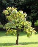 Cigar tree - catalpa Stock Image