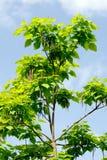 The cigar tree (Catalpa bignonioides). DescriptionThe cigar tree (Catalpa bignonioides) in the parks tree Royalty Free Stock Photos