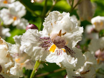 Cigar tree (Catalpa bignonioides) flower Stock Image