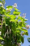 Cigar tree (Catalpa bignonioides) flower Royalty Free Stock Photo