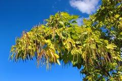 Cigar tree (Catalpa bignonioides) in a park. Against blue sky Stock Photography