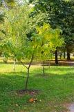 Cigar tree Catalpa bignonioides in the  park. Cigar tree Catalpa bignonioides in the city park Stock Image