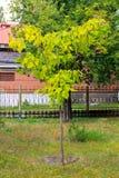 Cigar tree Catalpa bignonioides in the  park. Cigar tree Catalpa bignonioides in the city park Royalty Free Stock Photography