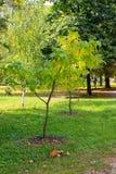 Cigar tree Catalpa bignonioides in the  park. Cigar tree Catalpa bignonioides in the city park Stock Photo