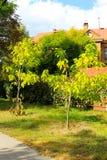 Cigar tree Catalpa bignonioides in the park. Cigar tree Catalpa bignonioides in the city park Royalty Free Stock Photos