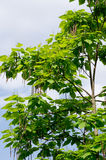 The cigar tree (Catalpa bignonioides). In the parks tree Stock Images