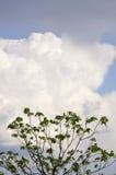Cigar tree with cloud Stock Photos