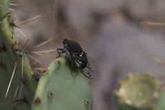 Cigarra de Dodger del cactus Foto de archivo libre de regalías