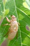 Cigarra del insecto en muda. Fotografía de archivo