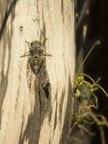Cigarra em uma árvore - verão no sul de França Foto de Stock Royalty Free