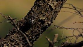 Cigarra en el árbol almacen de metraje de vídeo