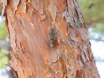 Cigarra en árbol Imagenes de archivo
