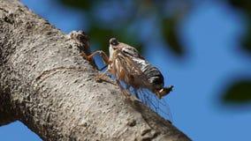 Cigarra hermosa de la macro de la escena de la naturaleza Palillo del insecto de la cigarra en árbol en selva tropical tropical almacen de video