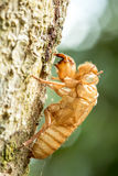 A cigarra permanece Fotos de Stock