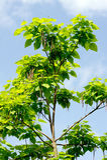 Cigarrträdet (Catalpa bignonioides) Royaltyfria Foton