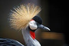 Cigüeña coronada africana Foto de archivo libre de regalías