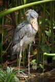 Cigüeña de Shoebill Imagenes de archivo