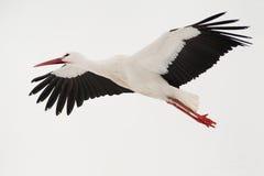 Cigüeña del vuelo Fotografía de archivo libre de regalías