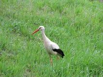 Cigüeña en hierba verde Imagen de archivo