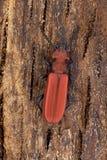 Ścigi Cucujus cinnaberinus Fotografia Stock