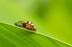 ścigi natura zielona makro- Fotografia Stock