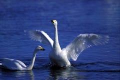 Cigni in acqua Immagini Stock Libere da Diritti