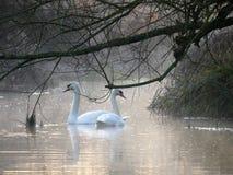 Cigni ad alba sugli scacchi del fiume al fondo di Sarratt, Hertfordshire immagini stock libere da diritti