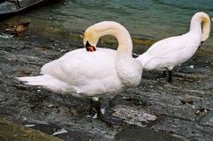 Cigni bianchi Immagini Stock Libere da Diritti