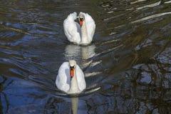 Cigni bianchi Fotografia Stock