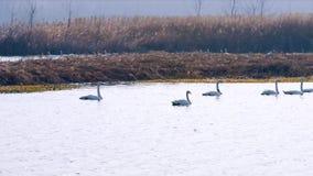 Cigni bianchi che nuotano nel lato del fiume archivi video