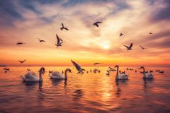 Cigni bianchi che nuotano nell'acqua di mare e nei gabbiani volanti nel cielo, colpo di alba Fotografia Stock Libera da Diritti