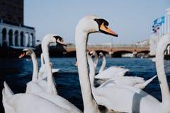 Cigni bianchi che nuotano sul canale del fiume di Alster vicino al comune a Amburgo Fotografia Stock