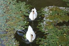 Cigni bianchi che nuotano in un lago Fotografia Stock Libera da Diritti