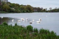 Cigni bianchi degli uccelli di Staya Fotografia Stock Libera da Diritti