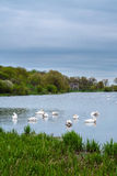 Cigni bianchi degli uccelli di Staya Fotografie Stock Libere da Diritti
