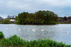 Cigni bianchi degli uccelli di Staya Immagine Stock Libera da Diritti