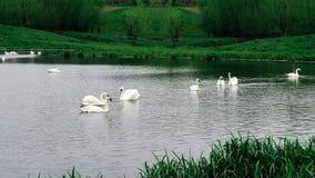 Cigni bianchi degli uccelli di Staya Immagini Stock