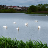 Cigni bianchi degli uccelli di Staya Immagini Stock Libere da Diritti