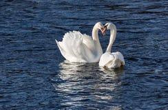 Cigni bianchi eleganti che si accoppiano in primavera Immagini Stock Libere da Diritti