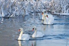 Cigni bianchi nel fiume Fotografie Stock Libere da Diritti