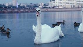 Cigni bianchi su acqua Fotografia Stock
