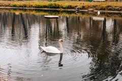 Cigni bianchi sul lago Il parco di autunno, giallo va sugli alberi Fotografia Stock