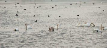 Cigni bianchi sul lago nero in Pomorie, Bulgaria Fotografia Stock