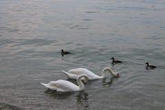 Cigni bianchi sulla polizia Italia del lago immagini stock libere da diritti