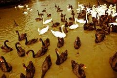 Cigni in bianco e nero sull'acqua Fotografie Stock Libere da Diritti