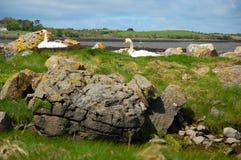 Cigni che annidano vicino a Kinvarra, Irlanda Fotografia Stock