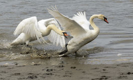 Cigni che decollano dal bordo del lago Fotografie Stock Libere da Diritti