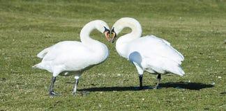 Cigni che fanno forma del cuore Immagini Stock