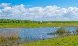 Cigni che nuotano dentro e che volano sopra un lago Fotografia Stock