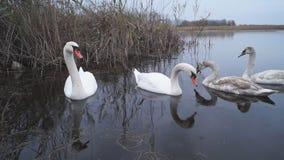 Cigni che nuotano e che cercano l'alimento nel lago archivi video